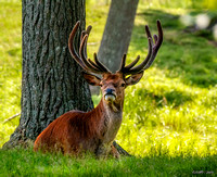 Red Deer Stag